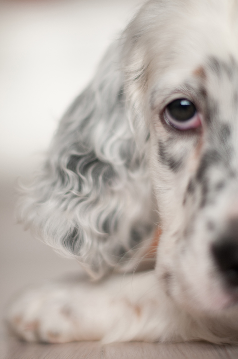 Trend, English setter puppy. Tri colour ) English